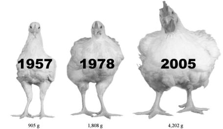 Image result for are chickens raised with hormones