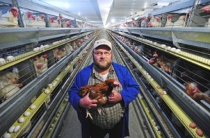 cage raised chicken. Free range chickens. Are cages humane for chickens