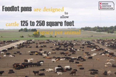 Feedlot pens allow for 125 to 250 square feet of space for animal