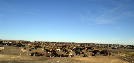 A feedlot in Texas