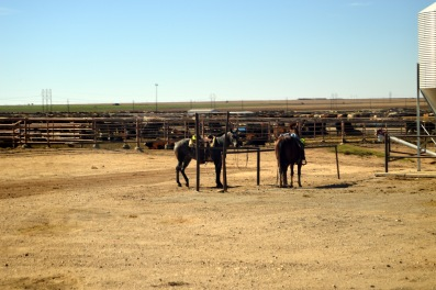 Cow horses in a feedlot.